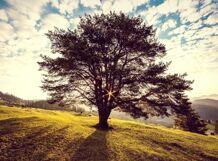 Поющее дерево